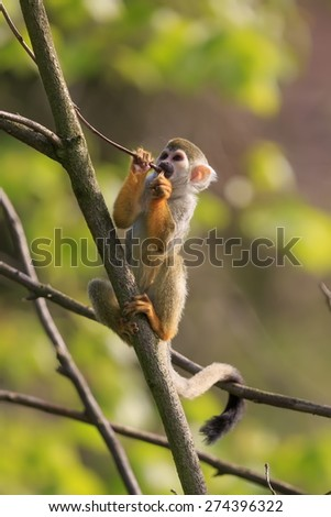 Common squirrel monkey wont eating - stock photo