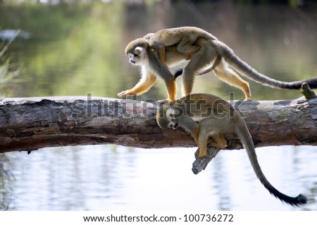 Common squirrel monkeys  - stock photo