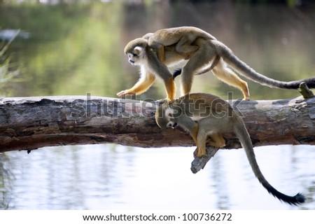 Common squirrel monkeys  - stock photo