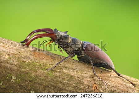 Common stag beetle male stands on dry wooden branch