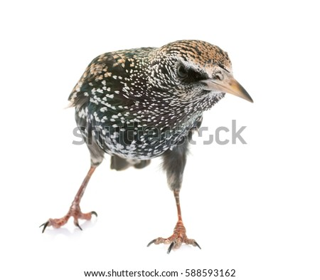 Common starling in front of white background