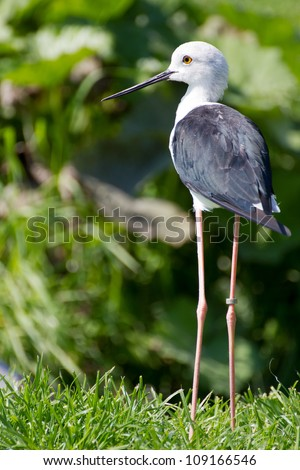 Common Stilt (Himantopus himantopus) - stock photo