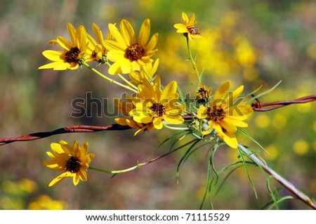 Common sunflowers bloom along the fence row in Central Kansas.  Yellow petals with brownish black centers. - stock photo