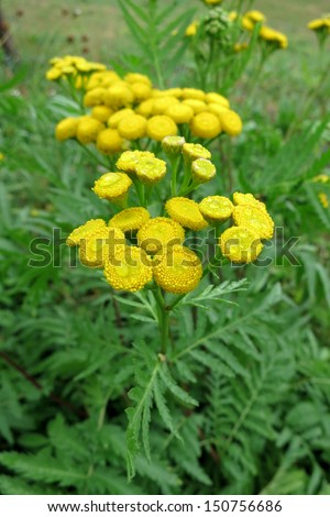 Common Tansy (Tanacetum vulgare) - stock photo