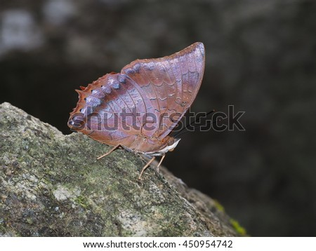 Common Tawny Rajah butterfly in flash