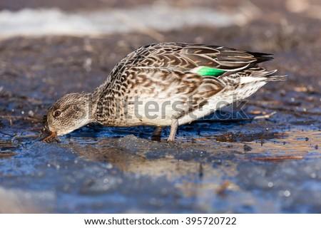 Common Teal (Anas crecca). Wild bird in a natural habitat. Wildlife Photography. - stock photo