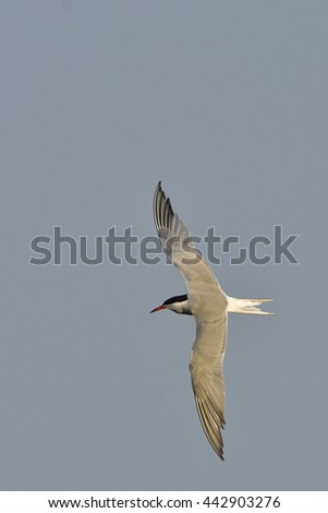 Common tern in flight - stock photo