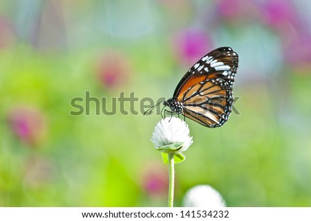 common tiger butterfly close up