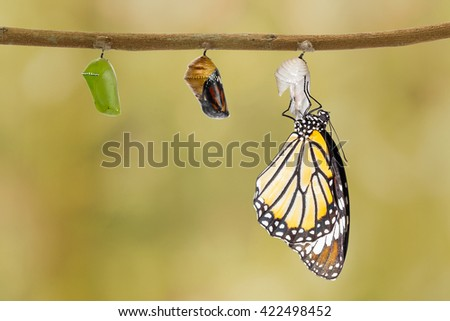 Common tiger butterfly emerging from pupa hanging on twig - stock photo