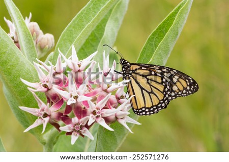 Common Tiger butterfly - Monarch butterfly ( danaus plexippus) in Yosemite NP US - stock photo