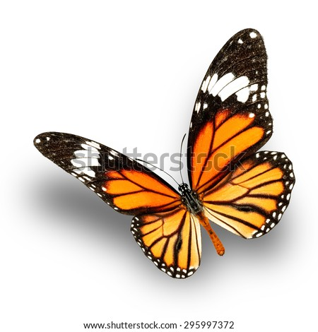 Common Tiger Butterfly upper wing profile flying up (Danaus genutia)