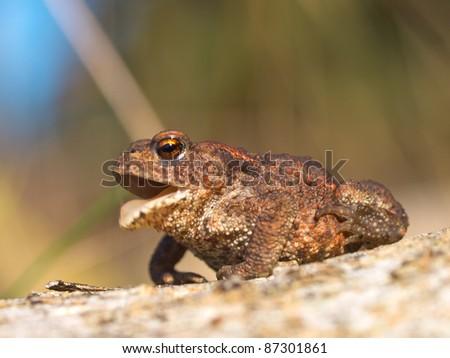 Common toad Bufo Bufo croaking - stock photo