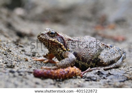Common toad - (Bufo bufo) Frog sitting on the ground near a creek in the wild. - stock photo