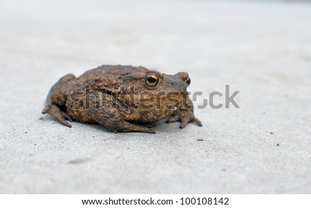 Common toad (Bufo bufo) on a concrete surface