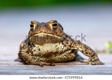 Common toad (Bufo bufo) stretching on wooden pathway.