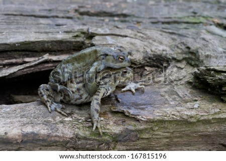 Common toad, Bufo bufo, two toads, Wiltshire