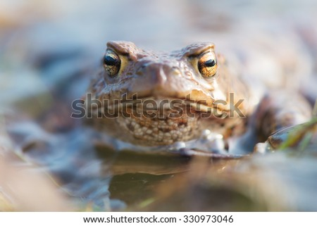 Common toad in nature water - stock photo