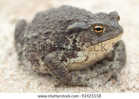 Common toad or European toad (Bufo bufo) on a sandy ground