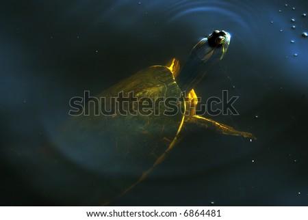 Common Turtle - stock photo