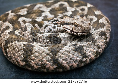 Common viper snake isolated on black  - stock photo