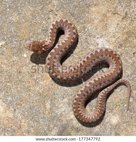 Common viper snake on sand - stock photo