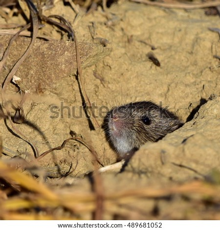 common vole-Microtus arvalis in its environment in evening sunshine