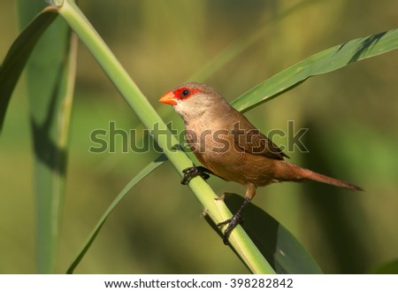 Common Waxbill, Estrilda astrild, small colorful african bird with red beak and red eye stripe perched on a green reed stem. Madeira Island.   - stock photo