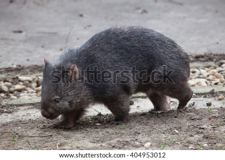Common wombat (Vombatus ursinus). Wild life animal.  - stock photo