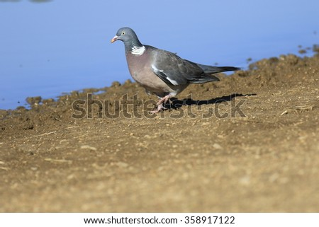 Common Wood-Pigeon  Columba palumbus - stock photo