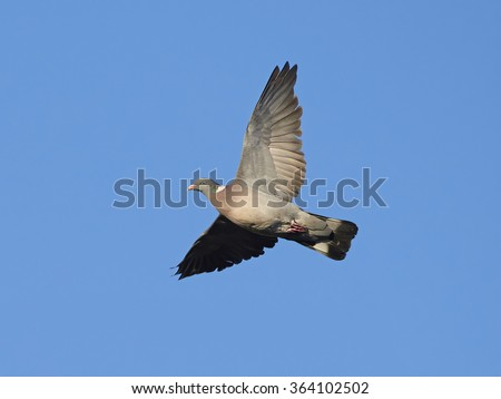 Common Wood Pigeon (Columba palumbus) in flight with blue skies in the background