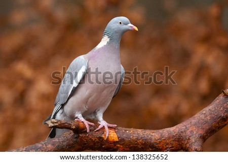 Common Wood Pigeon on a branch in the autumn - stock photo