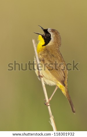 Common Yellowthroat Singing a cheerful song. - stock photo