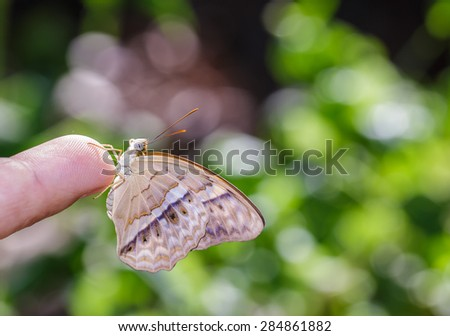 Common yeoman butterfly hanging on human finger