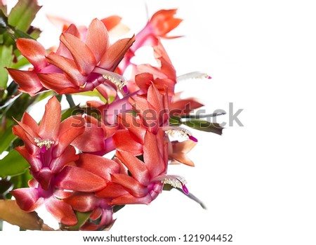 Commonly Called Christmas Cactus or Thanksgiving Cactus (Schlumbergera)  in Bloom - stock photo