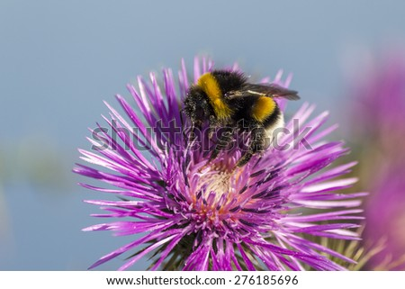 Commun Bee, polizating a Carpobrotus edulis, succulent plant, creeping, native to Cape region in South Africa in regions such as Mediterranean, Australia and California, has become an invasive species - stock photo