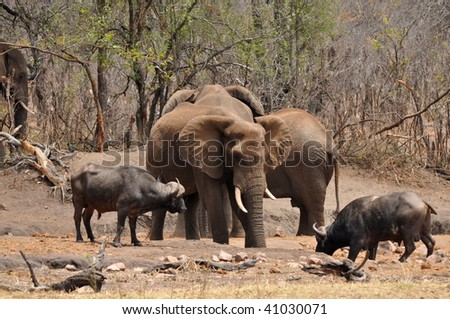 comparing elephant with buffalo in Kruger national park - stock photo