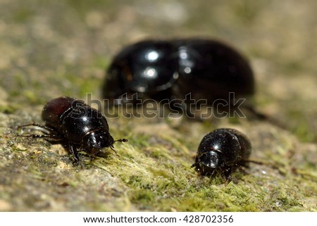 Comparison of Aphodius dung beetles. Aphodius depressus (left), A. fossor (centre) and A. haemorrhoidalis (right)