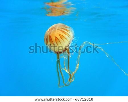 Compass jellyfish under water surface, Mediterranean sea, Azure coast, French riviera, Var, France - stock photo