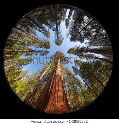 Complete circular fisheye view of the Giant Sequoia Trees in Mariposa Grove, Yosemite National park, California, USA - stock photo