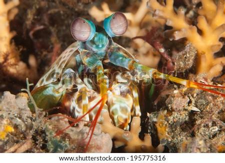 Complex Stare of a Peacock Mantis Shrimp - stock photo