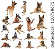 composite picture with purebred belgian sheepdog malinois on a white background - stock photo