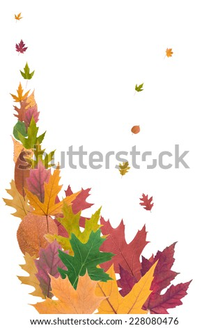 composition of beautiful colored autumn leaves close up isolated on white background