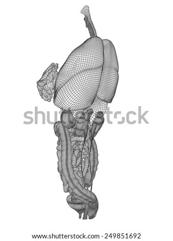 Concept conceptual anatomical human woman 3D black wireframe mesh digestive system isolated on white background, for anatomy, medical, body, stomach, medicine, heart, biology, internal, care or digest - stock photo