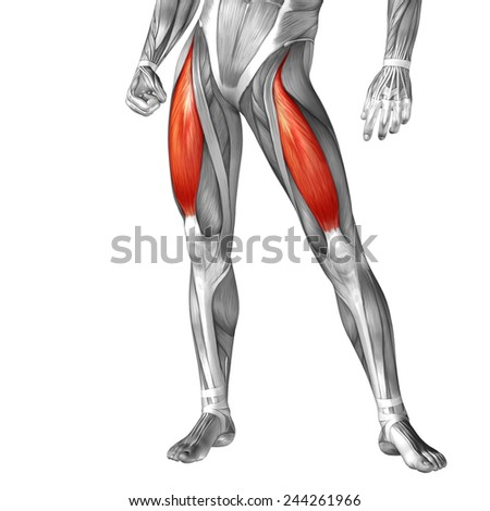 Concept conceptual 3D front upper leg human anatomy or anatomical muscle isolated on white background, metaphor to body, tendon, fit, foot, strong, biological, gym, fitness, skinless, health medical - stock photo