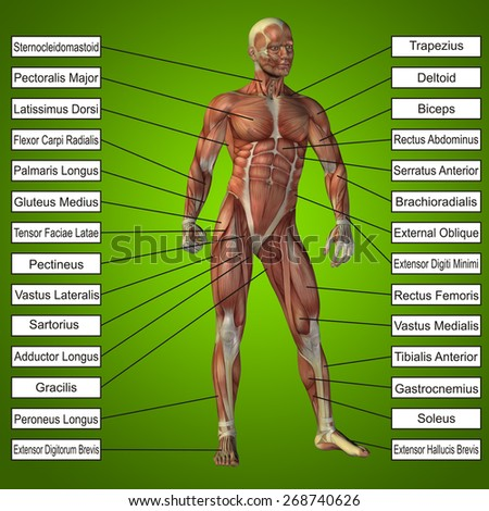 Concept conceptual 3D human anatomy and muscle text on green gradient background, metaphor to body, tendon, spine, fit, builder, strong, biological, skinless, shape, muscular, posture, health medical - stock photo