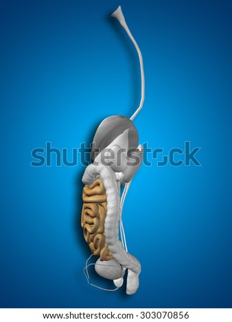 Concept conceptual 3D human or man anatomy of intestine organ and digestive system illustration on blue background  metaphor to biology, education, care, digestion, body, health, medical or digestion - stock photo
