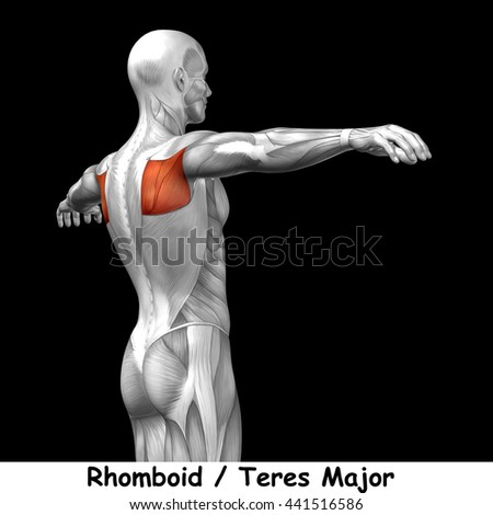 Concept conceptual 3D illustration back human anatomy or anatomical and muscle isolated on black background metaphor to body, tendon, spine, fit, abs, strong, biological, gym, fitness, health medical - stock photo