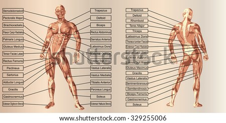 Concept 3D human man anatomy and muscle for sport and text on beige vintage backgroundor metaphor to body, tendon, spine, fit, builder, strong, biological, skinless, shape, posture, health medical - stock photo