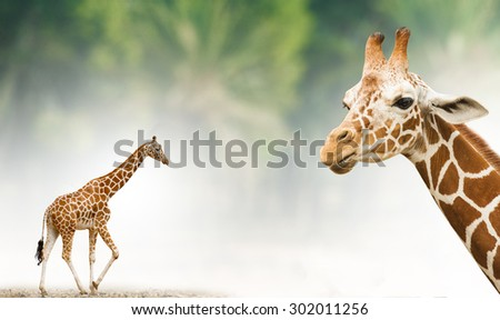 Concept: Giraffe in full length and his head closeup and nice tropical background behind - stock photo