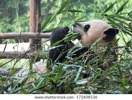 Concept: time for lunch. Delicious bamboo for the giant panda. Canon 5D.